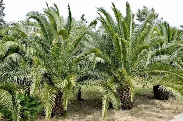 Dwarf Palms
