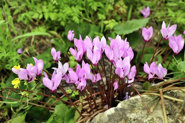 Spring cyclamen flowers