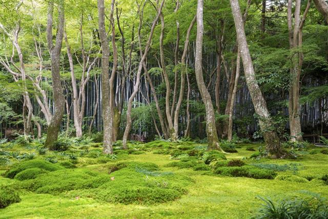 Moss garden view , Kyoto