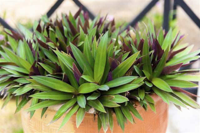 Tradescantia zebrina in flowerpot