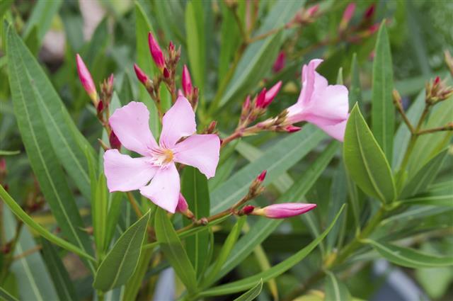 Pink oleander blossom