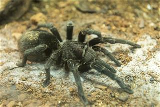 Brazilian black tarantula found in Brazil and Uruguay