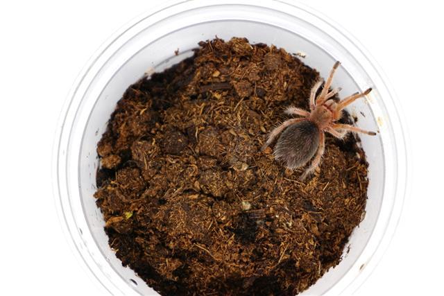 Chilean rose sling tarantula (Grammostola rosea) in plastic cage