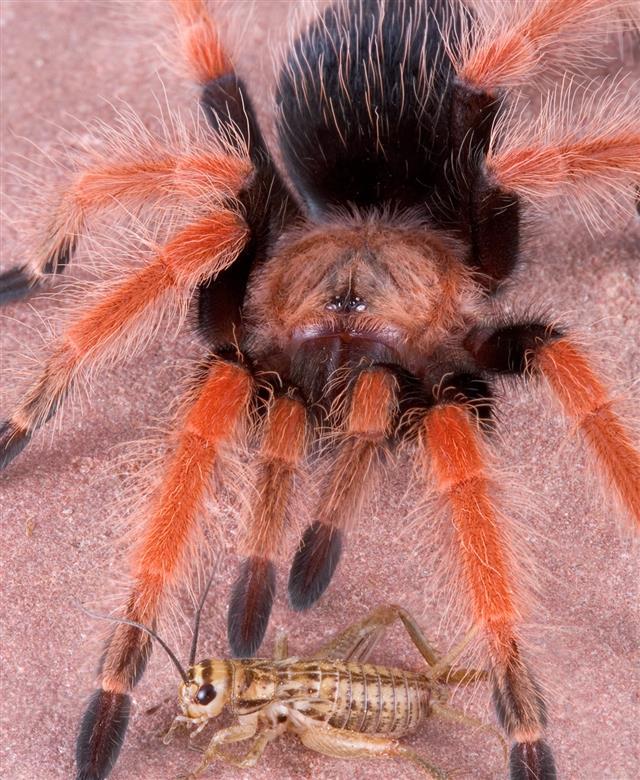 Tarantula and cricket