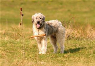 Romanian white shepherd dog