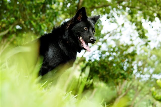 Formosan Mountain Dog waiting