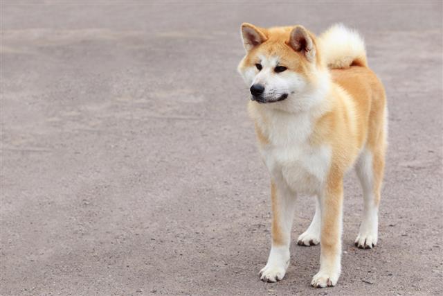 Dog breed Akita Inu