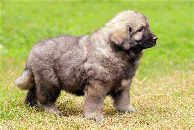 Macedonian shepherd dog