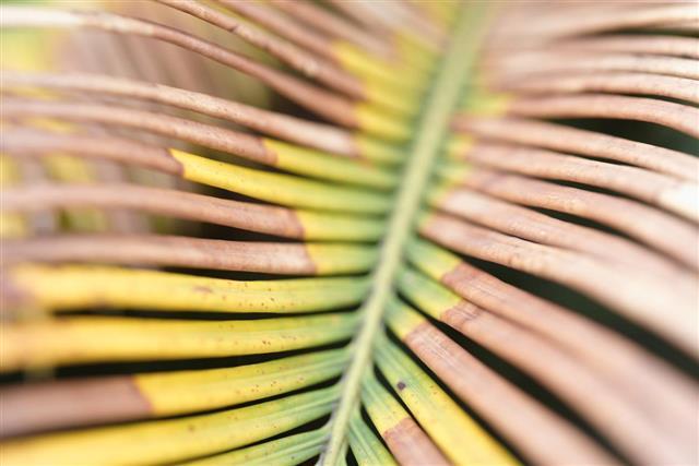 Leaf texture of cycas revoluta