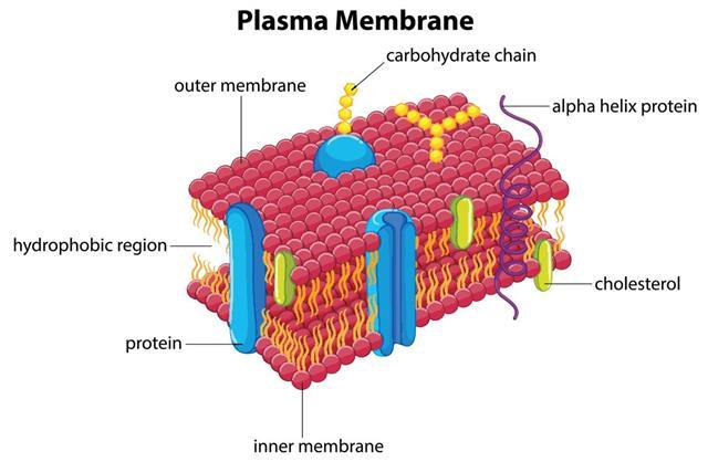 Diagram with plasma membrane