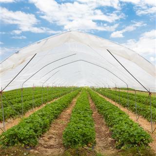 Strawberries Growing In Greenhouse