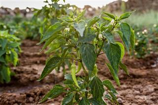 Green Chili Pepper Plant