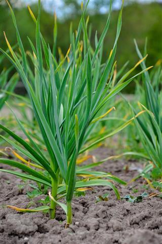 Garden Bed Of Green Garlic
