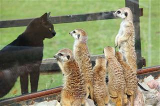 Meerkats And Black Cat