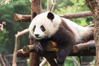 Young Giant Panda