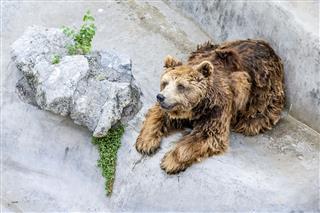 Bear In A Zoo