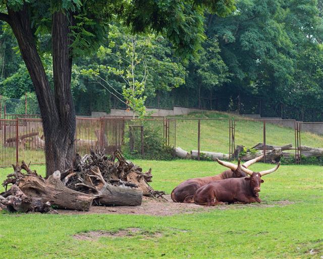 Ankole Watusi In Zoo