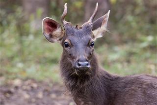 Sambar Deer Face