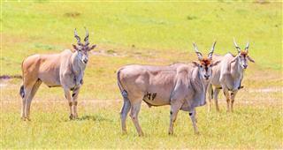 Elenantilope Eland Antelope Taurotragus Oryx
