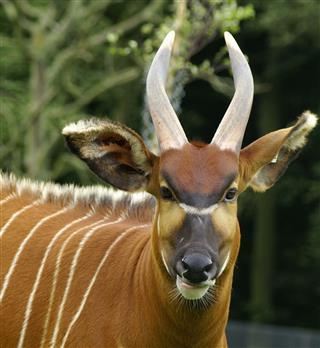 Bongo Antelope Portrait