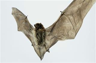European Bat Pipistrelle