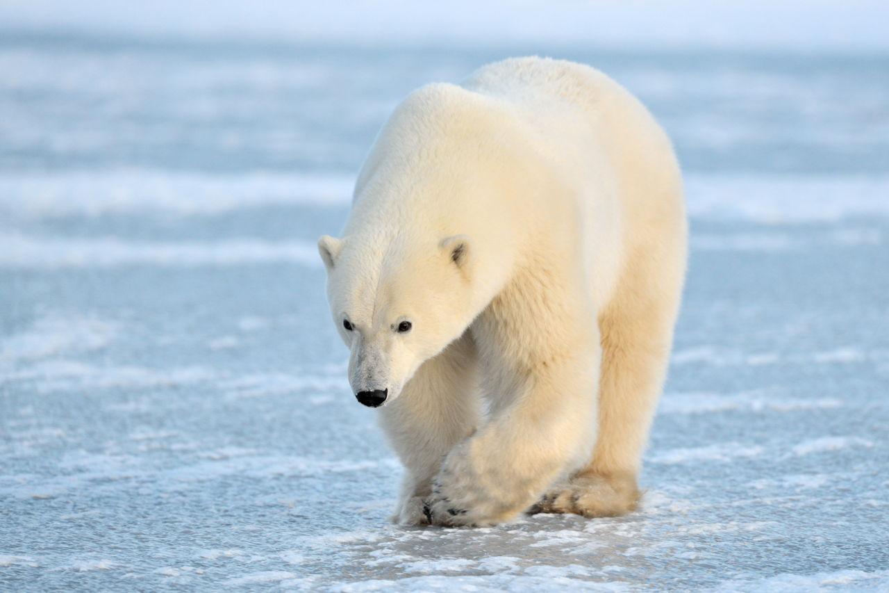 Polar Hudson/10-Gold AFCbH