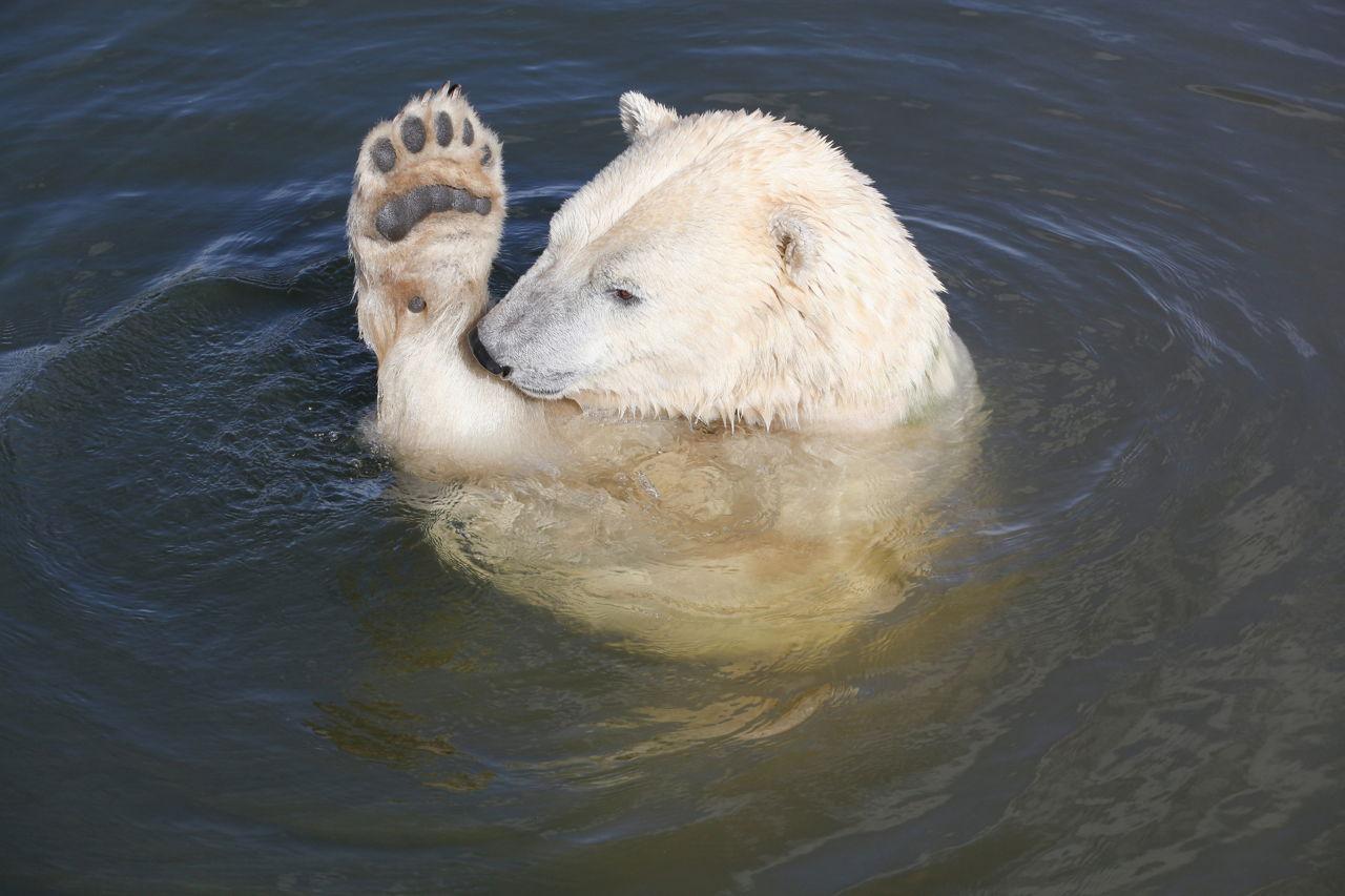 Polar bear swimming in ocean - photo#55