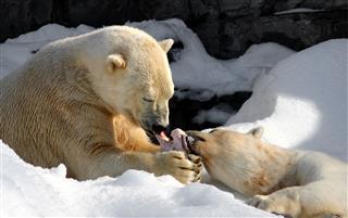 Polar Bear Share