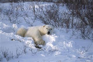 Wild Polar Bear Lying