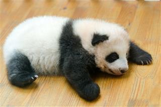 Giant Panda Baby Cub China