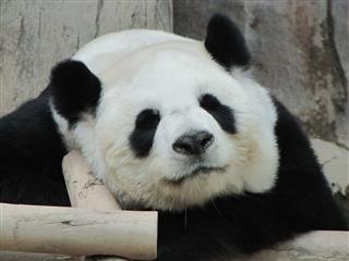 Panda In Thailand