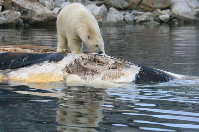Polar Bear Eating Whale