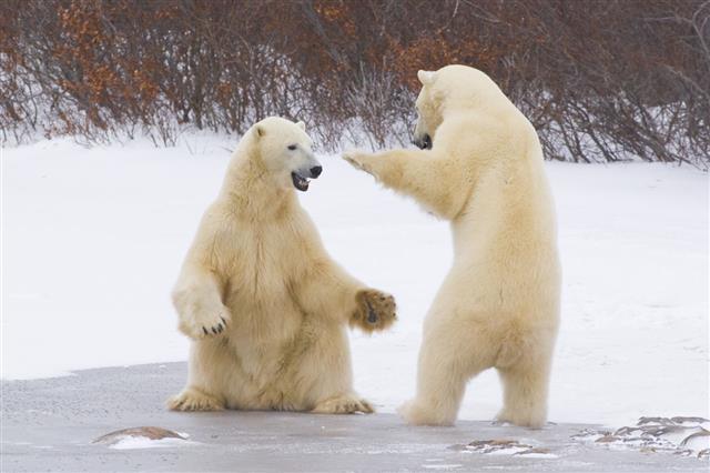 Polar Bears Interacting