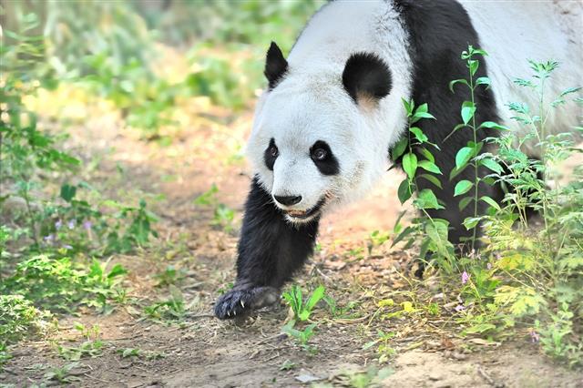 Panda Giant Panda