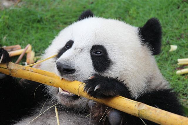 panda-eat
