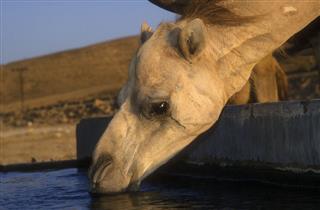 Arabian Or Dromedary Camel
