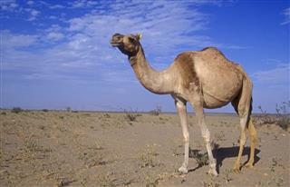 Arabian Or Dromedary Camel Camelus Dromedarius