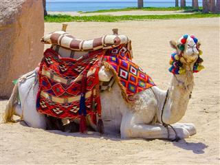 Camel On African Beach