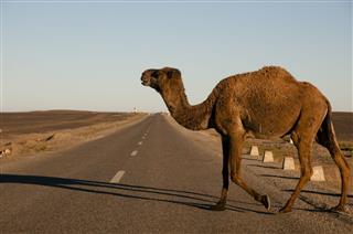 Crossing Camel Morocco