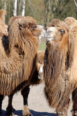 Bactrian Camel Camelus Bactrian