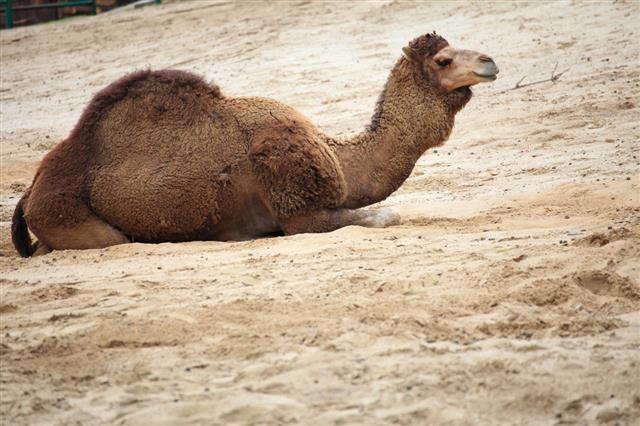 Camel In The Desert Animal