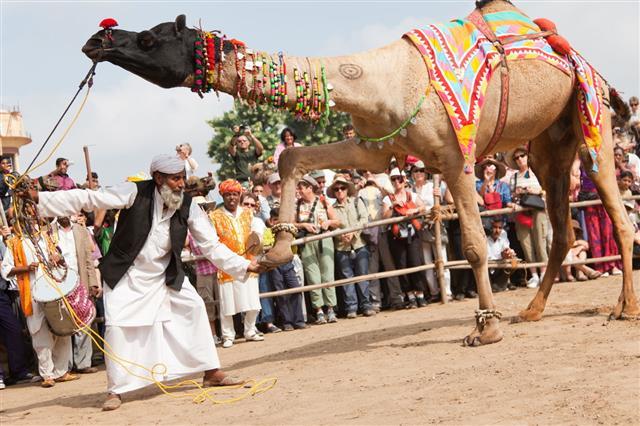 Camel Dance Competition In Pushkar