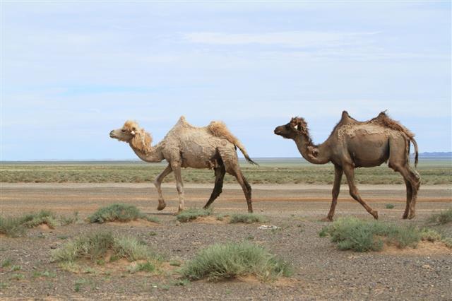 Kamele In Der W Ste Gobi Mongolei