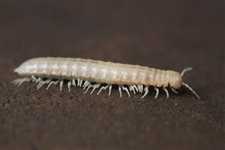 White Centipede
