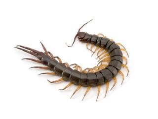 Black Centipede