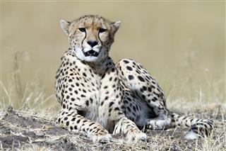 Cheetah Resting Masai Mara Park Kenya