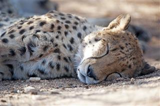 Cheetah Okinjima Nature Reserve Namibia Africa