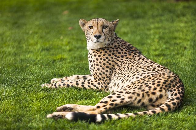 Wild African Cheetah Portrait