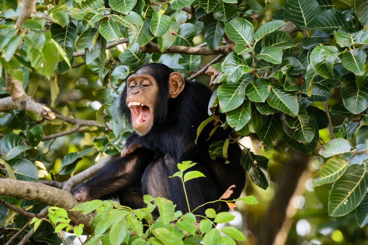 Chimpanzee Adaptations - photo#40