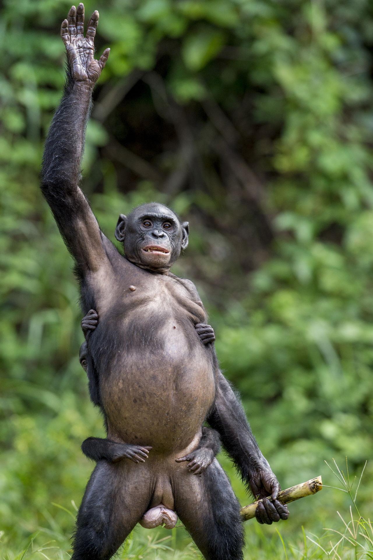 Chimpanzee Adaptations